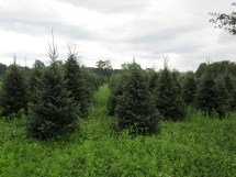 Triple Creek Farm And Nursery - Christmas Trees