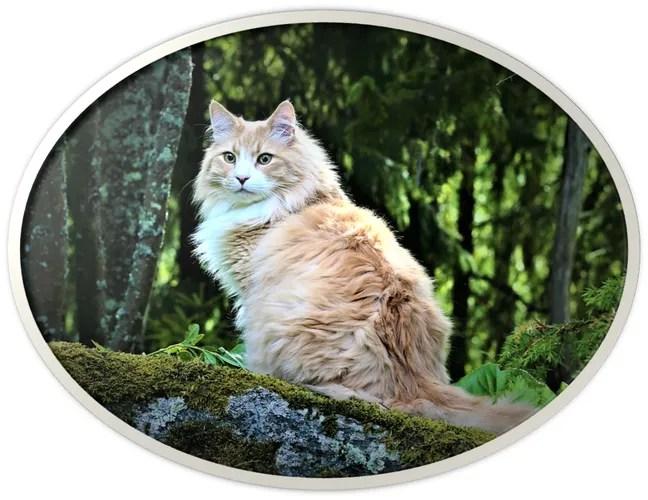 vikingtails norwegian forest cats
