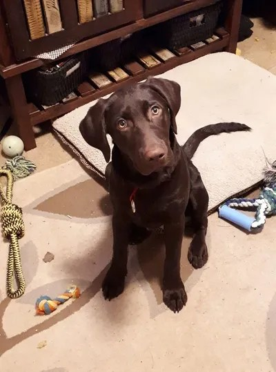 chocolate labrador - Dogs & Puppies, Rehome Buy and Sell