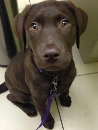 Labrador Mix Puppies For Sale Near Me : labrador, puppies, Labrador, Retriever, Puppy,, Adopt, Lucky