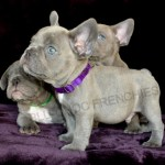 Lilac Frenchies French Bulldogs For Sale French Bulldog Breeders