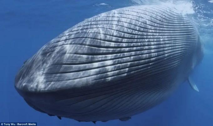 article21426211309a4b00 - Imágenes desgarradoras de una Ballena Azul herida de muerte por barco mientras dormía