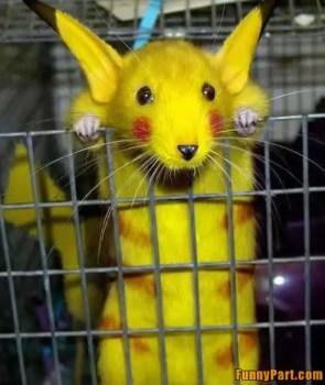 rat, rat pikachu, pikacchu, tikus pikachu, pikachu yang comel, gambar kelakar,