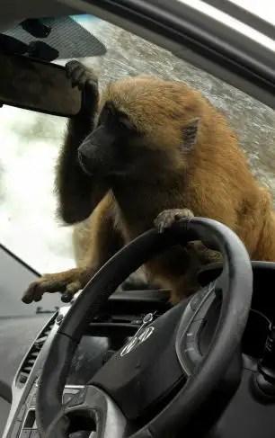 39011077 - 40 monos se enfrentan al reto de probar un coche nuevo