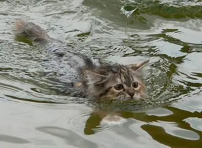 kucing berenang, gambar kucing berenang, kucing cute, kucing mandi,