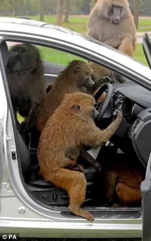 47456227 - 40 monos se enfrentan al reto de probar un coche nuevo