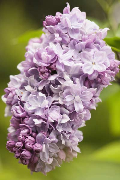 New Hampshire Purple Lilac  50 State Flowers to Grow