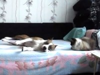 Dog Jumps on Bed When Home Alone Hidden Camera: Video ...