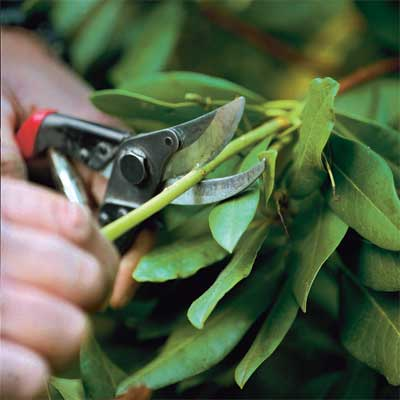 how to prune shrubs when dividing and pruning plants