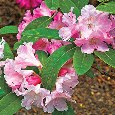 Yaku Prince rhododendron bush