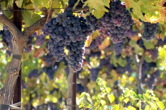 Ripe ripe grapes ready to harvest at Tablas Creek in Paso Robles