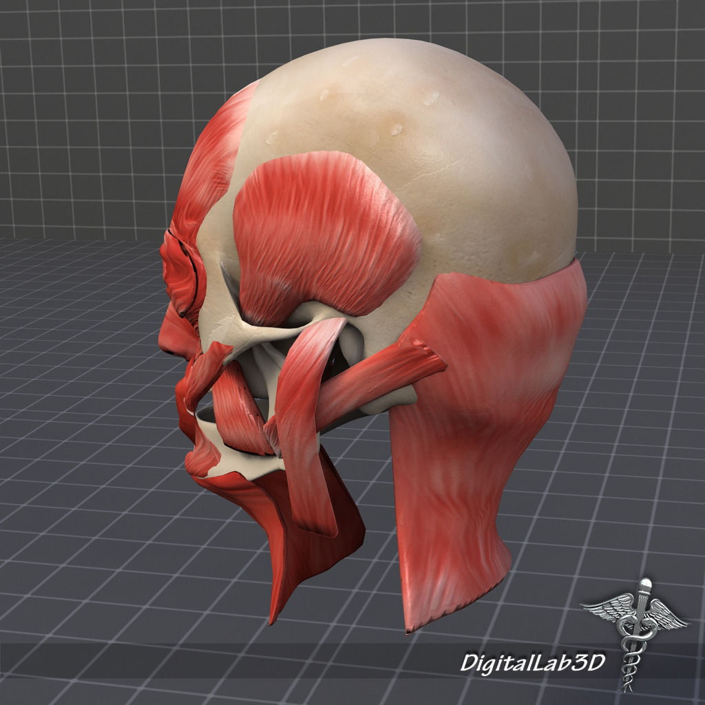 muscles of facial expression diagram 4pin t verbinder muscle structure 3d model max obj 3ds fbx c4d lwo