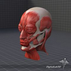 Muscles Of Facial Expression Diagram Keystone Rv Cable Tv Wiring Muscle Structure 3d Model Max Obj 3ds Fbx C4d Lwo
