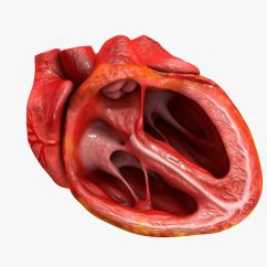 Realistic Heart Diagram Uml Flow Realisitc Moving Pictures To Pin On Pinterest