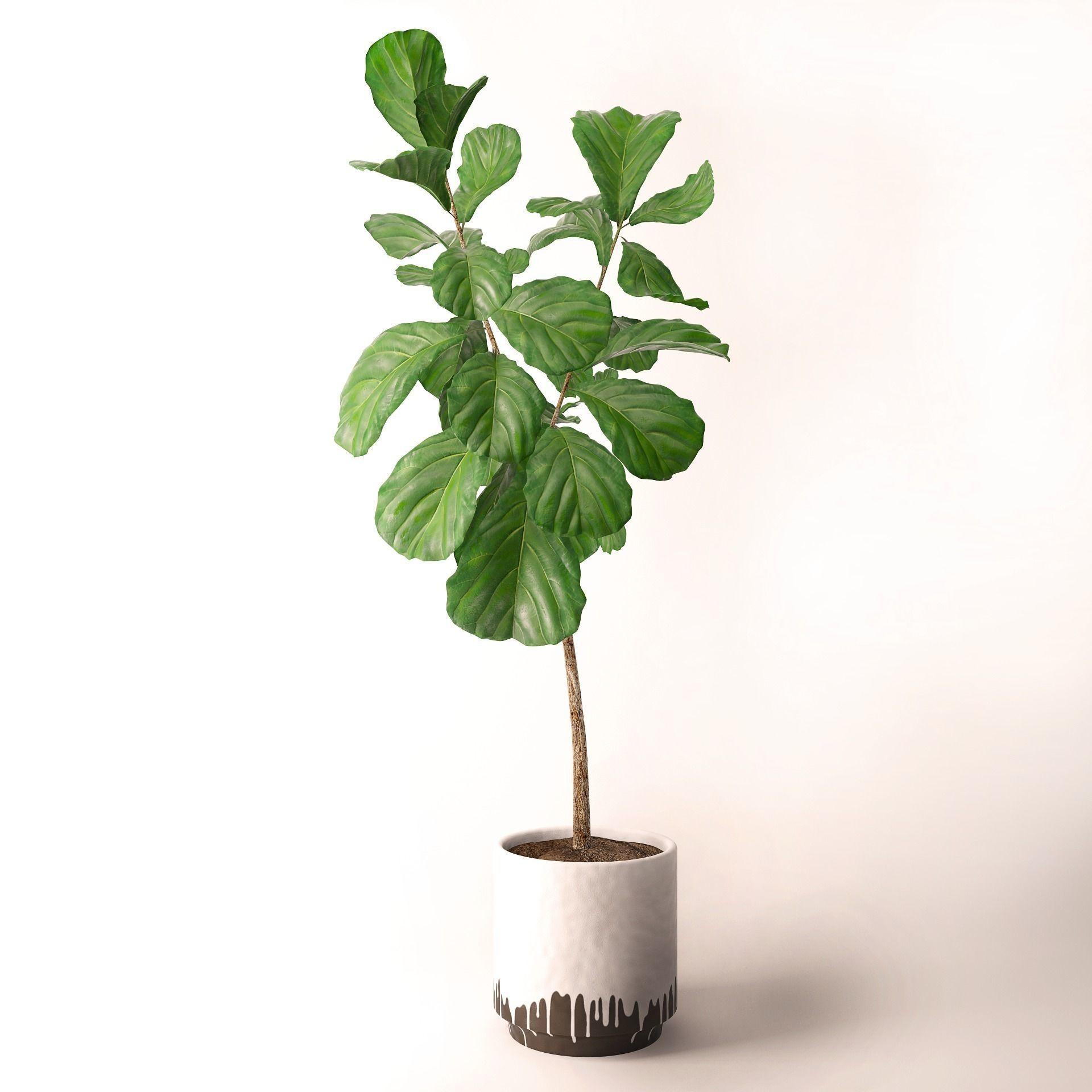 Ficus Lyrata Tree For Sale Ficus Lyrata Ficus Lyrata