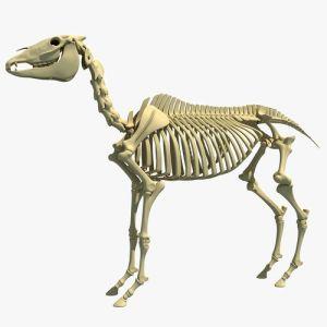 Horse Skeleton 3D model | CGTrader