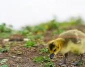 Gosling - Duckling Fine Art Photograph 8x10 - PheatherPhuzzFoto