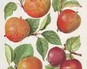Vintage Botanical Print to Frame, Fruit Illustration, Home and Garden Decor, Apple Varieties 55