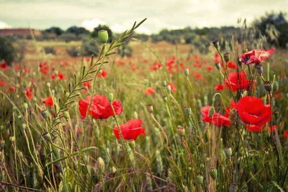 Tuscany Landscape: Field of Poppies