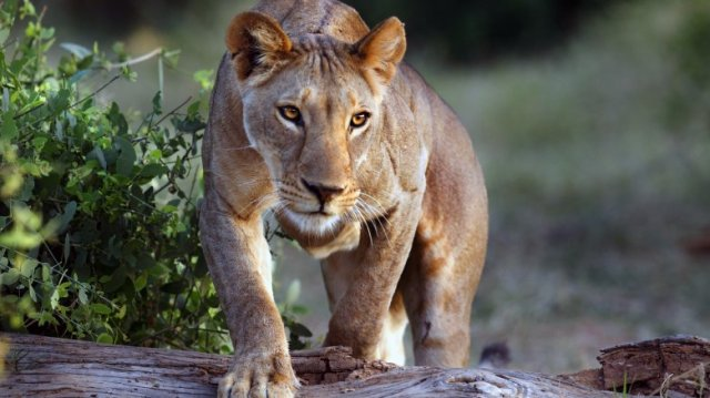 lioness stalking hunting