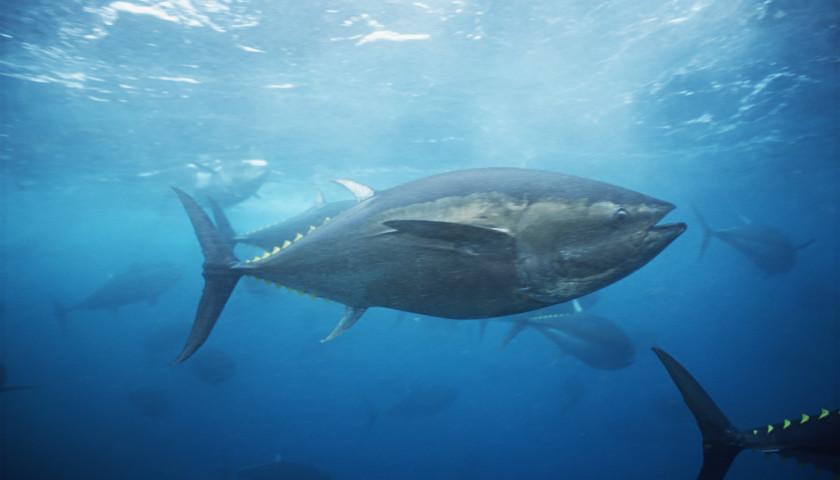 電商平臺宣布停止銷售藍鰭金槍魚|界面新聞 · 中國