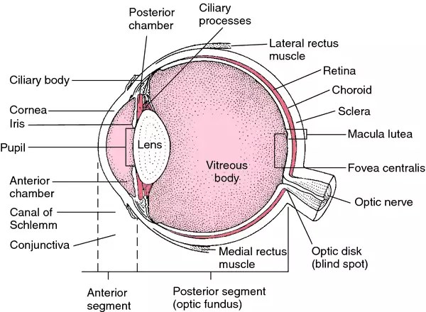 diagram of artificial eye silverado stereo wiring definition by medical dictionary