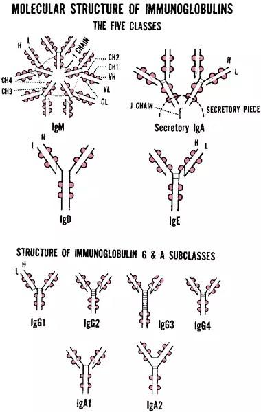 Immunoglobulin superfamily  definition of Immunoglobulin