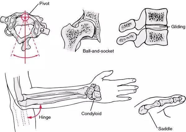 condyloid joint diagram saddle joint
