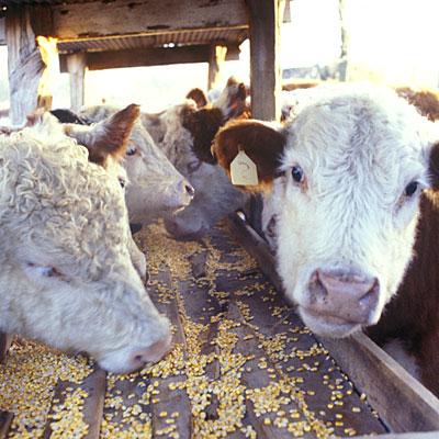 antibiotics-live-stock