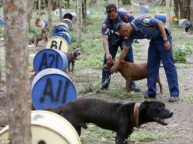 62915522 - 300 pitbulls fueron rescatados de perreras secretas donde eran entrenados para peleas ilegales