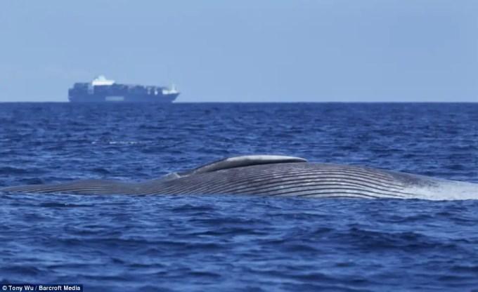 article21426211309a74b0 - Imágenes desgarradoras de una Ballena Azul herida de muerte por barco mientras dormía