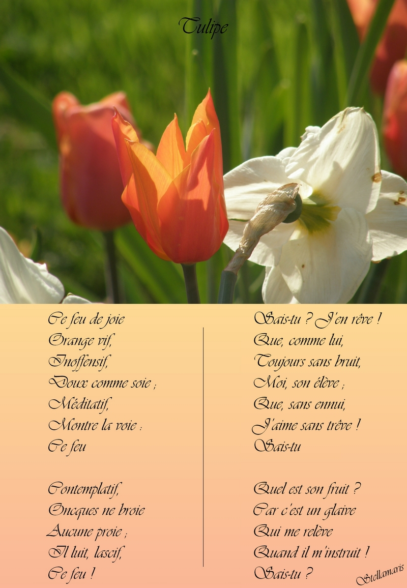 Tulipe Stellamaris Pomes Et Photographie