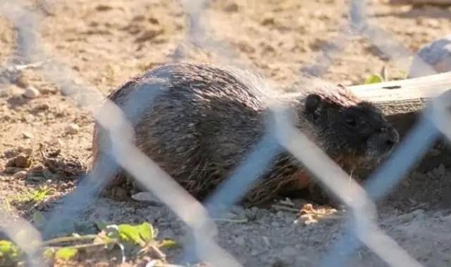 fotosdealce7 - Impresionante momento en el que un ciervo rescata a una marmota de morir ahogada