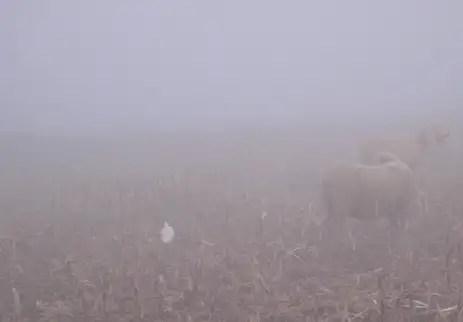 vermi nelle pecore
