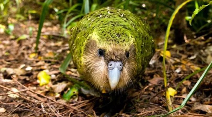 Dünyanın en şişman 'baykuş papağanı'nın soyu tükenme tehlikesi ile karşı karşıya