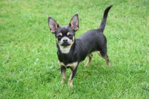 「smooth coat chihuahua」の画像検索結果