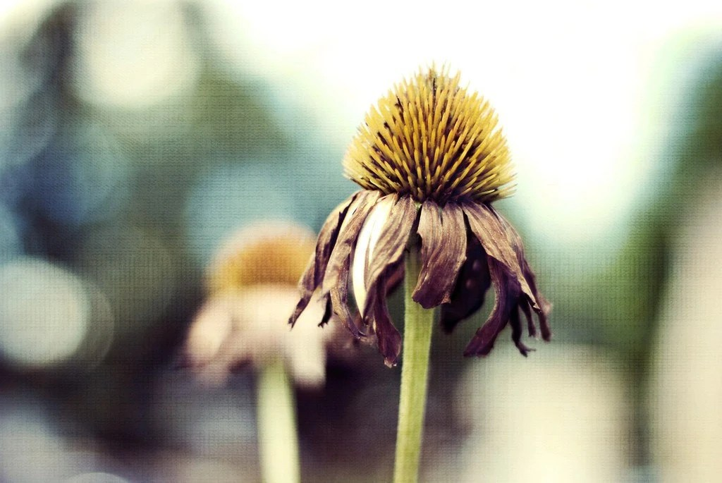 Fine Art Photography 8x10 Cone Flowers  Handmade Certified - Gallery32Photography