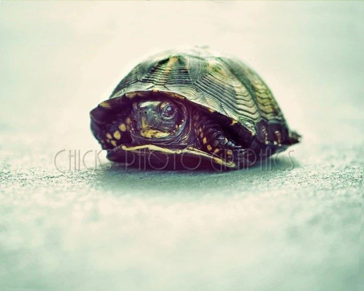 Tortoise Turtle Terrapin Photo, Minimalist Nature Photography, Fine Art Print, Macro Reptile, Green, Black Blue, Wildlife Close-up Nursery - ChicksPhotoGraphics