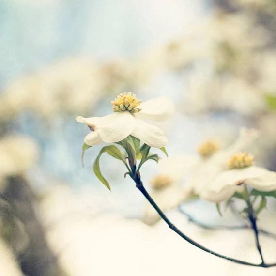 spring flower photography white home decor landscape photograph blue decor Dogwoods no 1 8x8 - eireanneilis