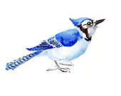 Blue Jay, original watercolor painting, bird painting, 10 X 8 in, horisontal orientation - ORIGINALONLY