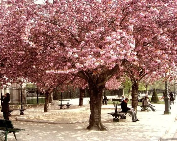 Pink Paris -  France Photograph  8x10 - Cherry trees in bloom day at the park sunlight spring dappled light peaceful