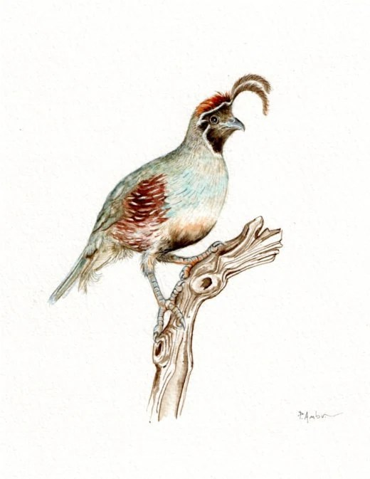 Original 7x9 Watercolour Gambel's quail......NOT A PRINT ..Original Painting Red Collectible