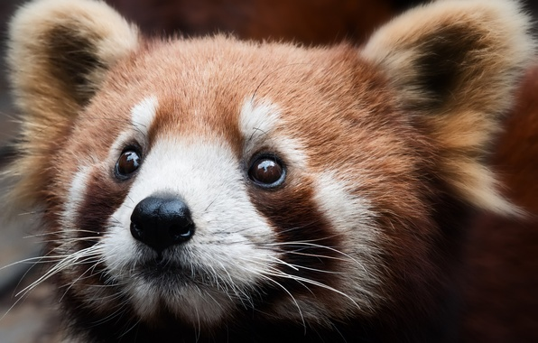 Iphone 5 Cute Panda Wallpaper Wallpaper Close Up Background Face Red Panda Images For