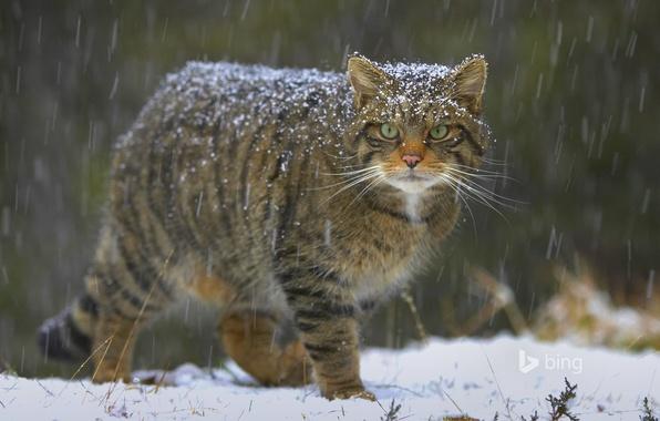 Bobcat Wallpaper Hd Обои кошка снег природа Шотландия европейский лесной