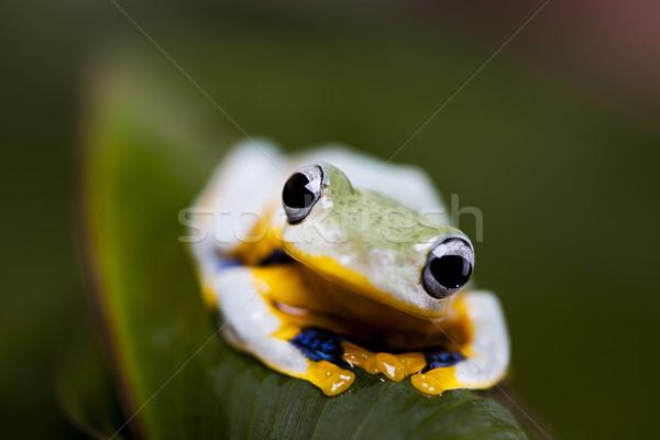 飛行 · 青蛙 · 叢林 · 綠色 · 熱帶 · 動物 - 商業照片 © Sebastian Duda (JanPietruszka) (#4141462)   Stockfresh