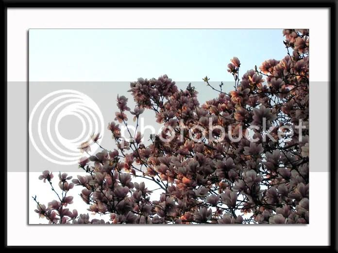 Spring Magnolias pics by Arun Shanbhag