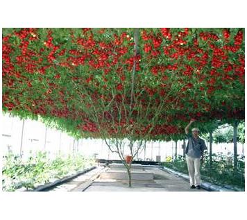 番茄樹種子 央視特別報道 產量高可盆栽地栽綠植 可結800果子高產