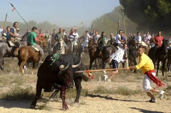 elmozooscarbartolomeher - Antitaurinos lanceados en lugar del animal en la sangrienta fiesta del Toro de la Vega