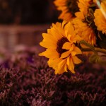 Wallpaper Sunflowers Flowers Nature The Dark Background Bouquet Yellow Basket Sunflower Lilac Blurred Background Heather Images For Desktop Section Cvety Download