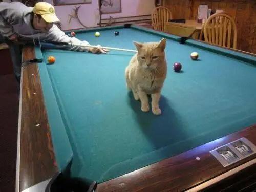 alcaldegato9 - El alcalde de un pueblo de Alaska es un gato (un gato de verdad)
